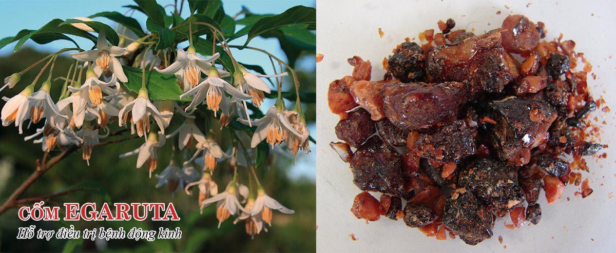 An tức hương là nhựa cây bồ đề giúp hỗ trợ điều trị động kinh